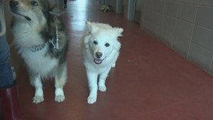 Public overwhelms SPCA shelters in the Okanagan with its generosity to help care for more than 40 badly neglected dogs