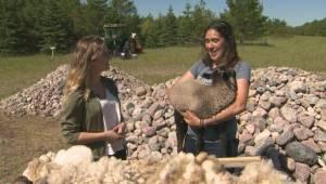DIY Homesteader Festival: Sheep shearing