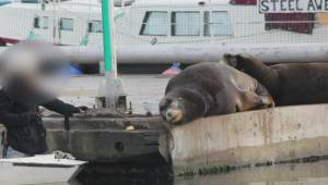 Officials attempt to rescue distressed sea lion