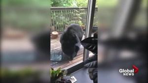 Black bear climbs to second floor balcony for a snack