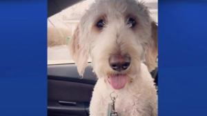 Search in Hamilton for dog put on wrong WestJet flight