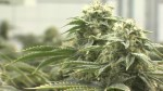'I'm not happy with what the federal government did': Mayor of Tweed voices concern after pot growing licneses were granted without local approval