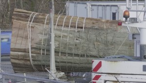 Massive cedar log transported to carving location