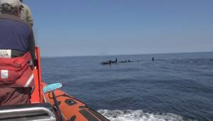Scientists consider capturing J50 orca temporarily