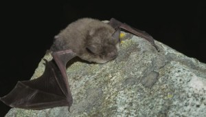 Public asked to help B.C. wildlife officials combat deadly bat diseas