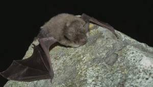 Public asked to help B.C. wildlife officials combat deadly bat diseas
