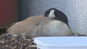 Regina's Costco geese return for another season