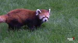 Edmonton Valley Zoo red pandas