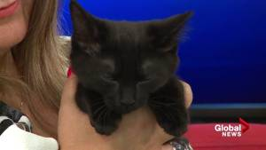 Adopt a pet: Lillian the 11-week-old kitten