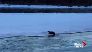 Wildlife experts excited about otter sightings in Calgary: 'Just wonderful'