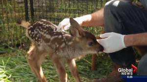 Update on 'Friday,' the fawn delivered by C-section (02:07)