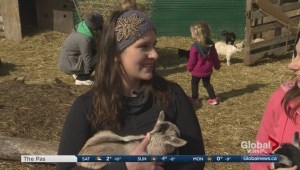 Goat yoga comes to Manitoba
