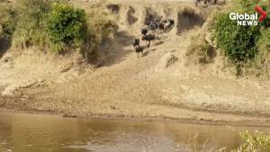 Experience the spectacle of the great wildebeest migration crosses the Mara River
