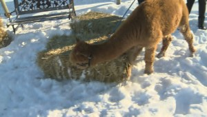313 Farms: Christmas Pix with the Alpacas