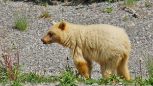 White-phase black bear spotted in Kananaskis Country