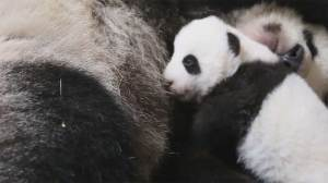 Footage shows 10-week-old panda cub cuddle with mommy