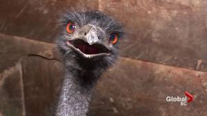 Giant emu recovering after great escape from B.C. police