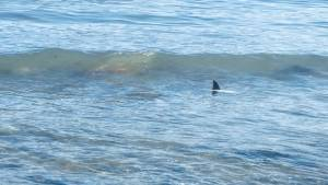 Small shark spotted off of Vancouver's Kits Beach