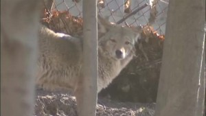 Dog owners urged to use safety during coyote mating season