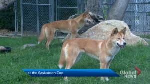Dingoes have landed at the Saskatoon Forestry Farm Park & Zoo
