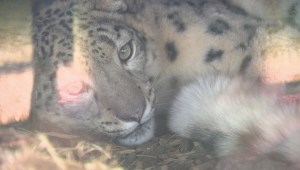 Meet the Calgary Zoo's new snow leopard Leika