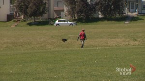 Dive-bombing Calgary crows getting too close for comfort: 'I've entered the war zone!'