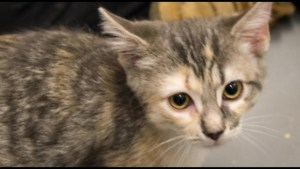 Cat-napper wanted after kitten stolen from Kingston Humane Society