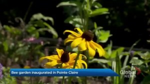 What's buzzing around in new Pointe-Claire garden?