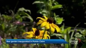 What's buzzing around in new Pointe-Claire garden?
