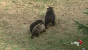 Another Grizzly Attack in the Kootenays
