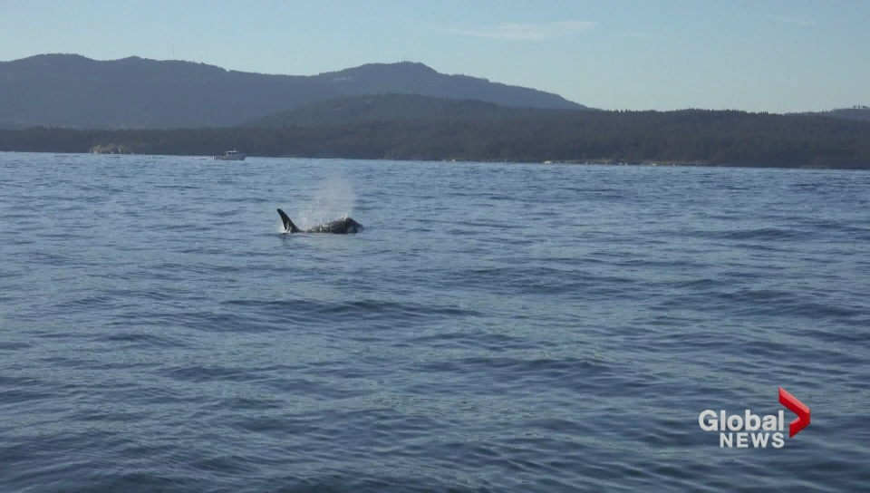 Starving, endangered killer whale J50 spotted alive in USA  waters