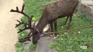 Edmonton Valley Zoo home to seven reindeer