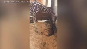 April the giraffe gives birth before online audience of over 1 million people