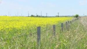 Canola producers disappointed with feds' offer to help (02:57)