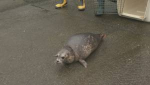 Rehabilitated seal pup is released into the wild