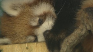 The zoo's red pandas have been named and were shown off Friday