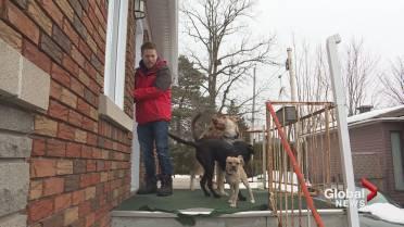 He's our hero,' Montreal man adopts three three-legged dogs