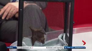 Edmonton Valley Zoo: Jamaican fruit bat
