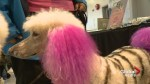 'Zebra Poodle' steals the show at Calgary dog grooming event