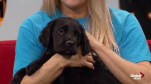 Edmonton Humane Society: Beauty, Dixie, Pepper the Great Dane-mastiff cross puppies