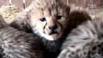 Septuplet cheetah cubs born at Virginia Zoo