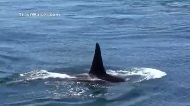 Ailing orca J50 declared dead off Northwest US coast