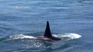 Condition of ailing orca 'J50' not improving: scientists
