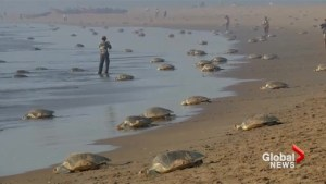 Endangered sea turtles lay eggs on beach in India