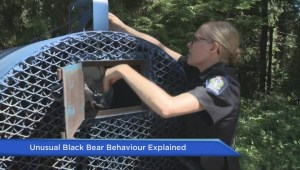 Unusual Black Bear Behavior Explained