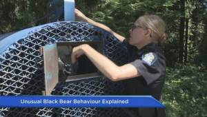Unusual Black Bear Behavior Explained