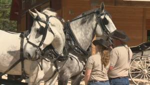 Heavy horse exhibit opening at Assiniboine Park Zoo