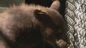 B.C.'s bears out roaming earlier than usual