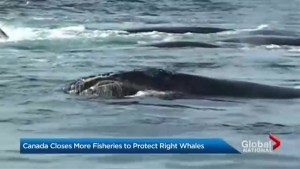 Canada closes more fisheries to protect Right whales