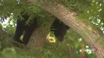 Bear spotted in Port Perry rescued from tree